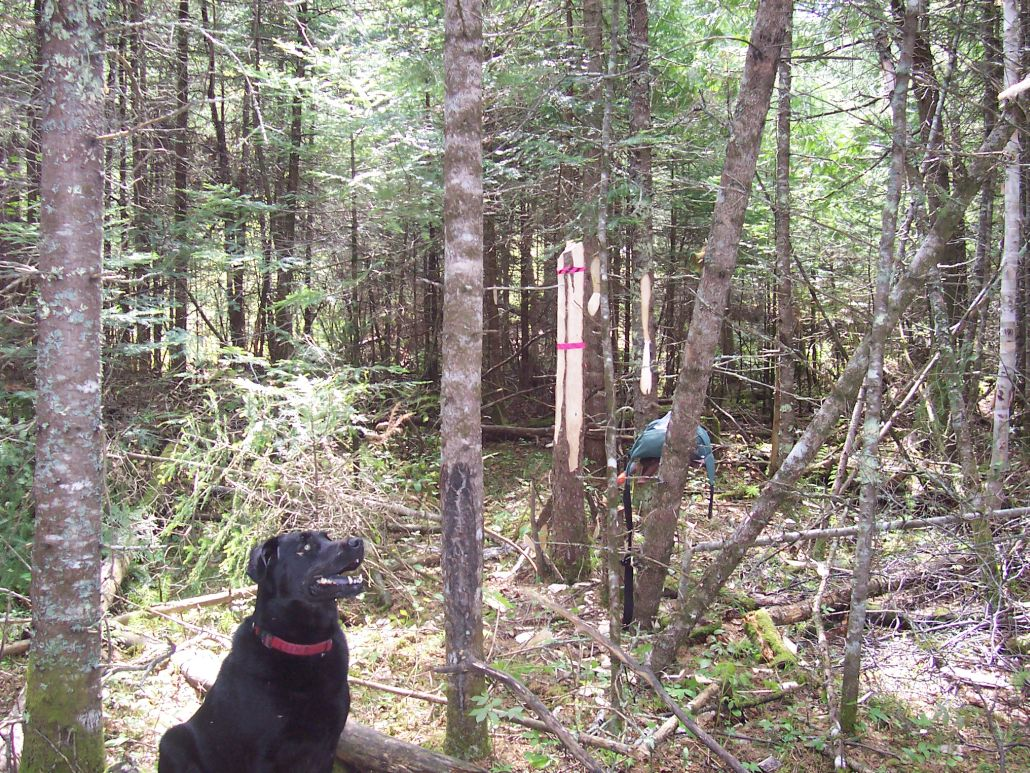The Continuing Adventures of Luke the Prospecting Dog. Luke says: Squirrel......there's a squirrel......right there (Shoal Lake, ON, June/14)